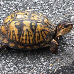 Eastern Box Turtle - (Terrapene carolina carolina), Woodbridge Virginia by Judy Gallagher