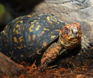 Eastern Box turtle (Terrapene carolina carolina) close up