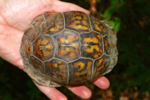 Eastern Box turtle being held in hand closed up