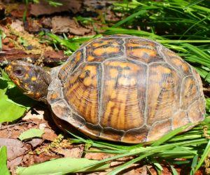 Eastern Box turtle in park (Terrapene carolina carolina)