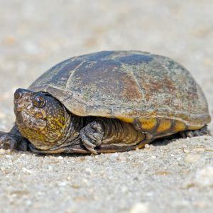 Eastern Mud Turtle (Kinosternon subrubrum) crossing dirt road