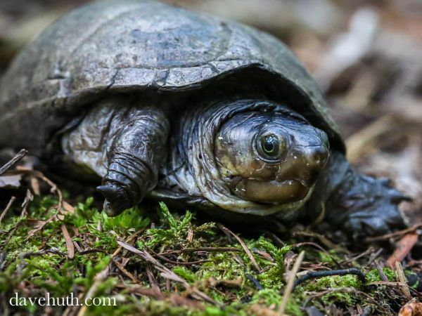 Eastern Mud Turtle (Kinosternon subrubrum) in Francis Marion National Forest, I'On Swamp Trail, South Carolina by Dave Huth