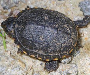 Eastern Mud turtle in Illinois (Kinosternon Subrubrum)