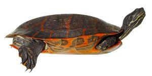 Eastern-Painted-Turtle