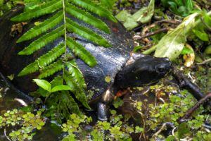 Eastern River Cooter (Pseudemys Concinna Concinna)