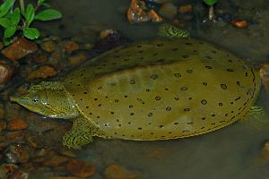 Eastern Spiny softshell in Wyoming