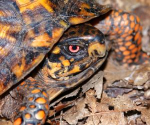 Eastern box turtle in Southern Illinois