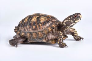 Eastern Box Turtle All Turtles