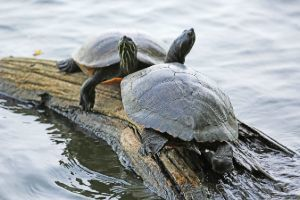 Eastern mud turtles on a log