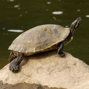 Eastern river cooter in Illinois