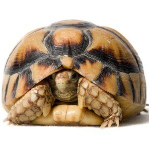 Egyptian tortoise also known as the kleinmann's tortoise in shell