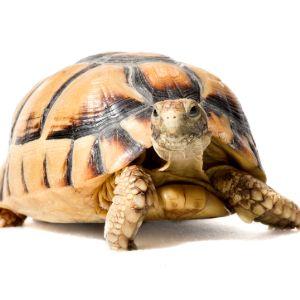 Egyptian tortoise also known as the kleinmann's tortoise looking curious