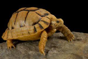 Egyptian tortoise also known as the kleinmann's tortoise on rock in enclosure