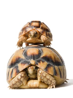 Egyptian tortoises also known as the kleinmann's tortoise stacked on top of each other