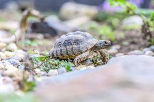 Egyptian tortoise in the wild on rocks