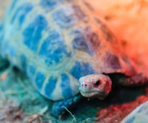 Elongated or yellow headed tortoise (indotestudo elongata) in enclosure