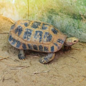 Elongated or yellow headed tortoise (indotestudo elongata) in tropical southeast asia