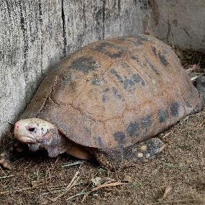Elongated tortoise on ground in tortoise pen