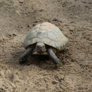Elongated tortoise walking in sand and looking towards camera
