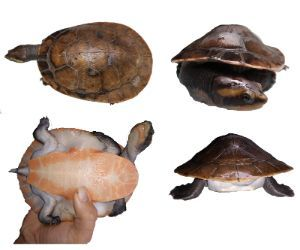 Pink Belly Sideneck Turtle Red Belly Sideneck Turtle