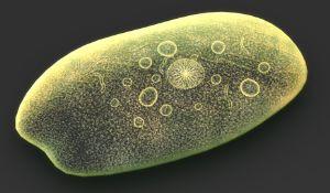 Entamoeba histolytica closely related to Entamoeba invadens