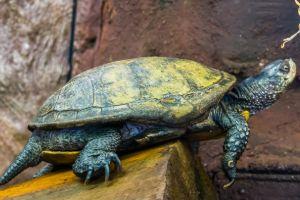 European Pond Turtle sitting on perch