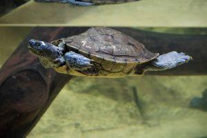 False map turtle swimming in tank
