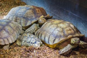 Family of Sulcata tortoises (african spurred tortoises) laying together with 1 juvenile