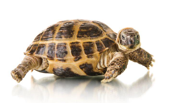 Fat tortoises
