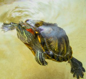 Female Red eared slider (Trachemys scripta elegans) at surface of water swimming