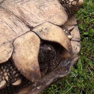 Female Tortoise Anal Scute