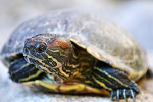 Female red eared slider turtle with head turned showing red marks for ears