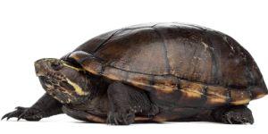 Female striped mud turtle on white background