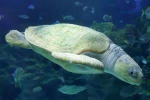 Flatback sea turtle swimming