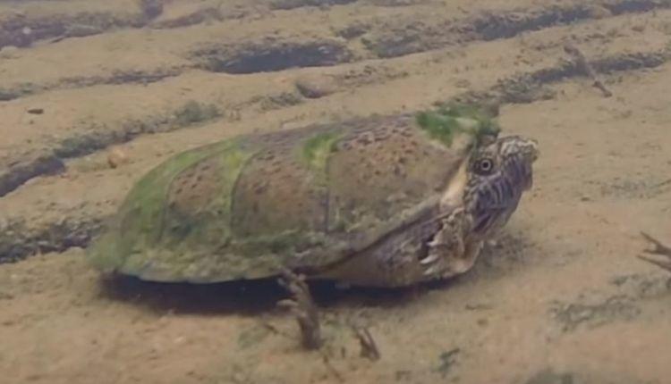 Flattened-Musk-Turtle
