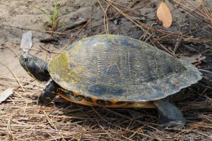 Florida Cooter (Pseudemys floridana)