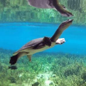 Florida-Softshell-Turtle