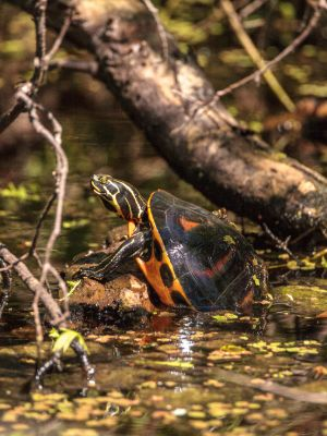 Florida red bellied turtle (Pseudemys nelsoni)