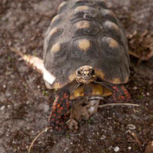 Foraging red foot tortoies (Chelonoidis carbonarius)