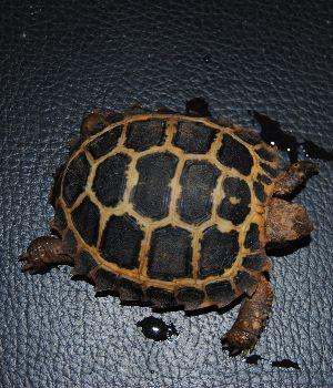 Forstens tortoise (Indotestudo forstenii)