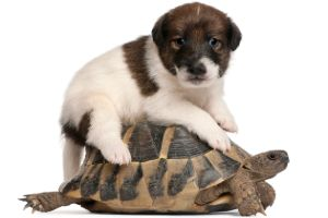 Fox terrier puppy on top of a hermann's tortoise