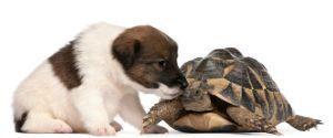 Fox terrier puppy sniffing a hermann's tortoise