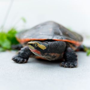 Front view of Pink Belly Sideneck Turtle