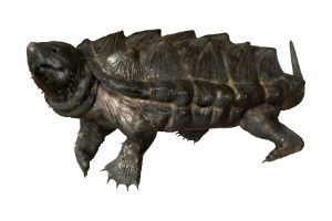 Full body of Alligator snapping turtle