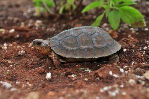 Furrowed Wood Turtle (Rhinoclemmys_areolata)