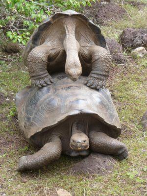 Galapagos_Tortoise_Mating