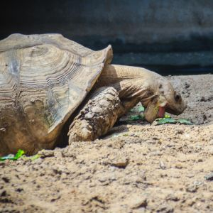 Giant Africana Spurred tortoise (centrochelys-sulcata) eating