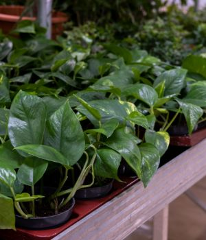 Golden Pothos also known as Devils Ivy