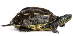 Golden Thread Turtle (Chinese stripe-necked turtle)