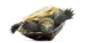 Golden thread turtle on its back